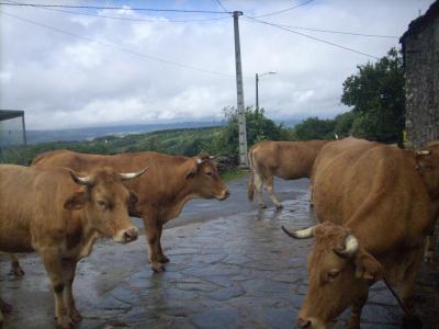 Camino út/errefelé a tehenek gondozottak/