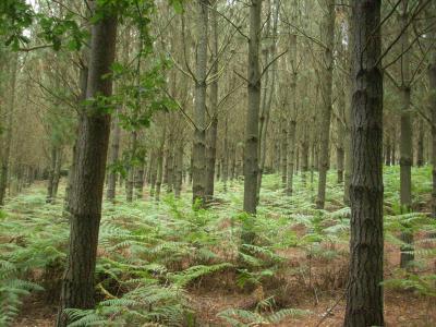 Camino út/ eukaliptusz erdő/